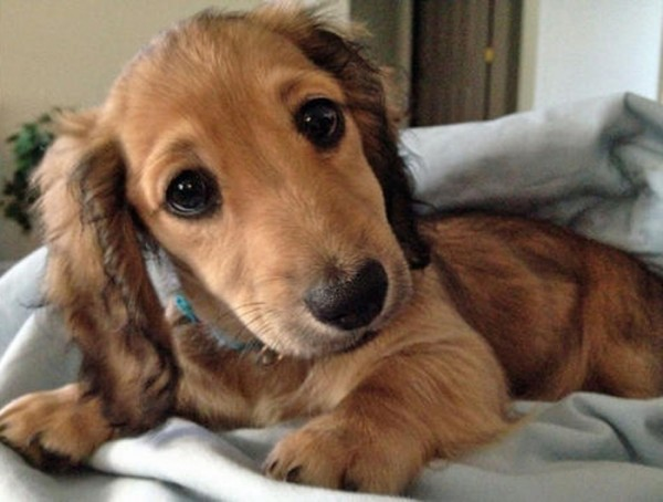 dachshund puppy looking into the camera wiener dogs