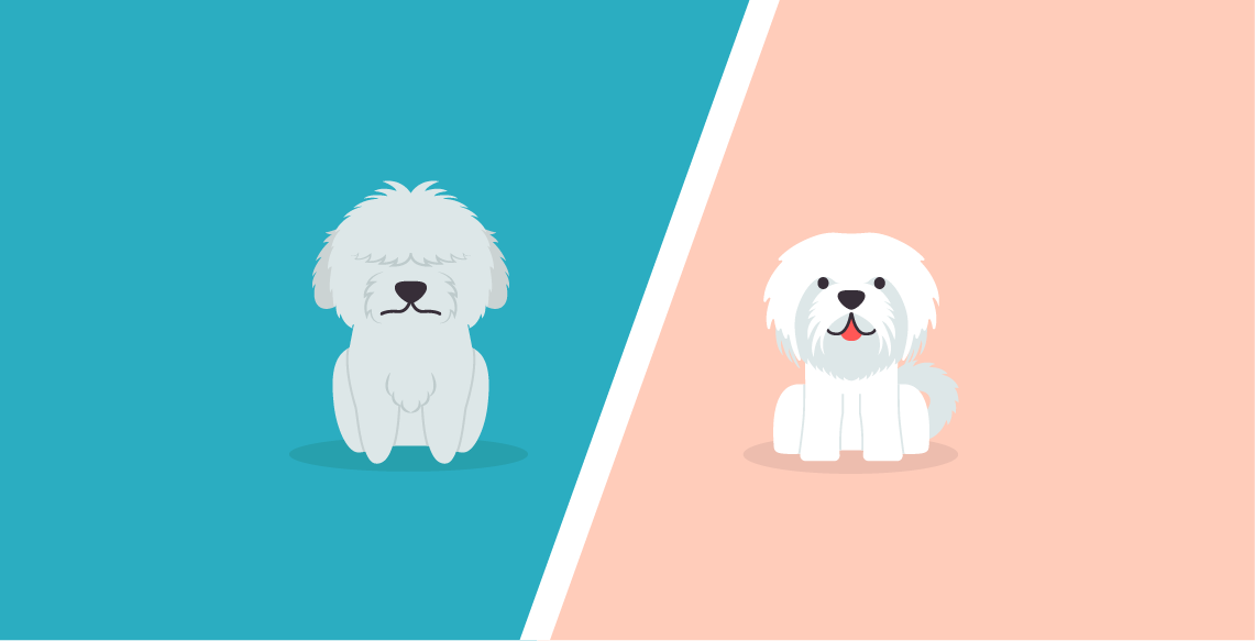 Maltese Vs Bichon Frise - What's The Difference? - DogBuddy Blog